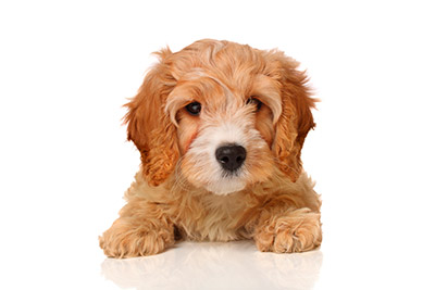 Shih Poo Puppies For Sale In Maine