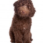 Cavapoo Puppies For Sale In Tennessee