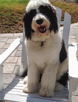 Buying A Sheepadoodle