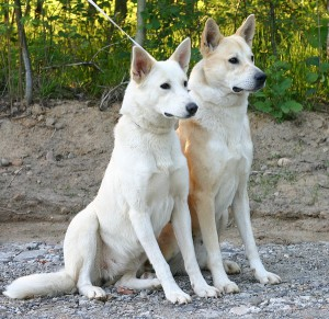 Canaan Dog For Sale Ohio  uniscoolcom : Canaan Dog For Sale In Ohio