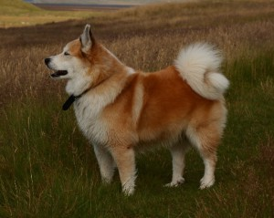 Icelandic sheepdog in the grass Icelandic Sheepdog