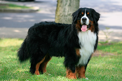 Solutions For Training A Hyperactive Bernese Mountain To Calm