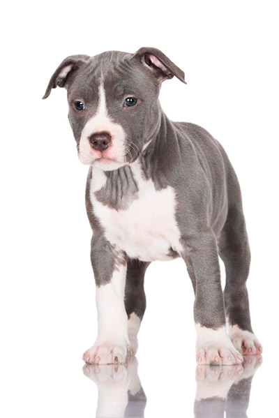 Cute male dog collars, blue pitbull puppies for sale in sc