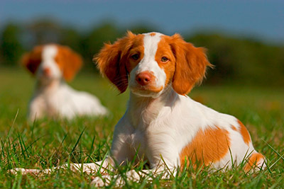Training Spaniel Puppies Brittany Spaniel Puppies
