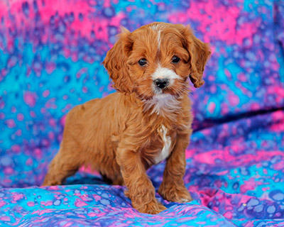 Toy Cavapoo Puppies Scotland The Cutest Puppies