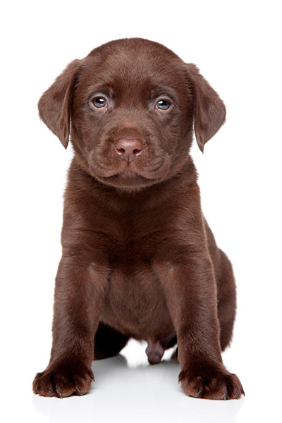 Chocolate labrador retriever breeders indiana – Dogs in our life ...