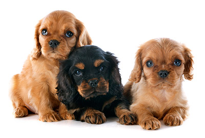 English Toy Spaniel Breeders Louisiana Three beautiful Cocker Spaniel