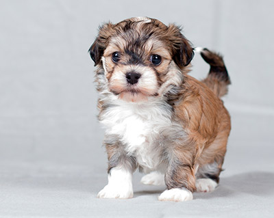 Havanese puppy standing up Havanese Kansas City