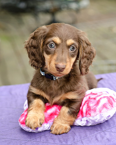 Dachshunds for sale in nc