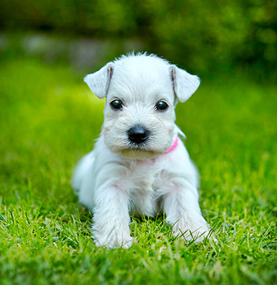 White miniature schnauzer for sale in arkansas