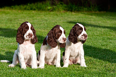 Brittany Springer Spaniel Puppies Three Springer Spaniel Puppies