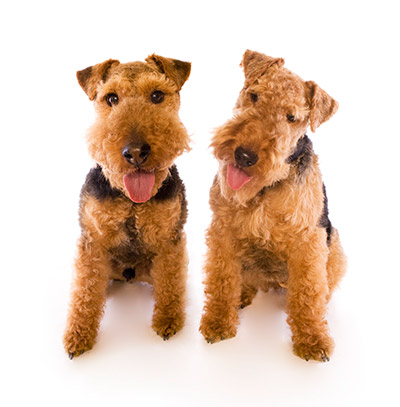 Welsh Terrier Rescue Florida Two Welsh Terrier puppies