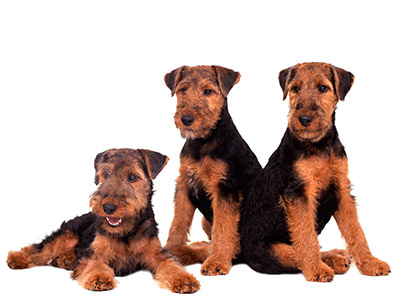 Welsh Terrier Rescue Florida three young Welsh Terriers