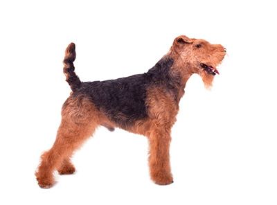 Welsh Terrier Rescue Florida Side profile of a Welsh
