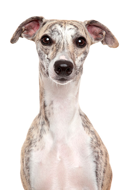 Grey and white Whippet...