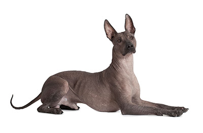 beautiful xoloitzcuintli Xoloitzcuintli For Sale In California