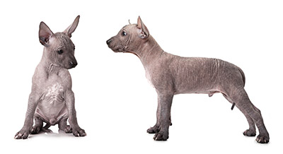 breeders cute mexican Xoloitzcuintli For Sale In California